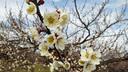 もう梅の花が咲いていた