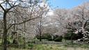 各種の桜が植えられている越水浄水場