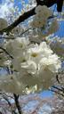 """ひときわ花弁が大きく白い、""""白妙"""""""