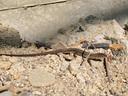 遊びに来たカナヘビの若い個体