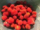 収穫した野イチゴ