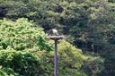 人工営巣塔の上のコウノトリ