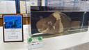 展示されていた巨大オビシメ