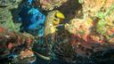 小笠原・伊豆諸島固有のアカイセエビ この個体は抱卵していた