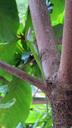 外来種のトカゲ、グリーンアノール