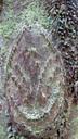 マルハチという名の由来となった葉柄痕