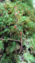 腐生植物の1種、スズフリコンゴウソウ