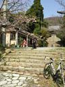 茶店横の桜がほぼ満開