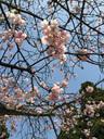 間違いなく桜だ