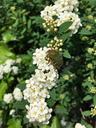 コデマリの花にハナムグリ