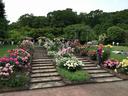 植物園のバラ