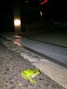 家の前にモリアオガエル