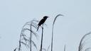 鳴き声を上げるヨシキリ