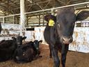 生後1年未満の仔牛たち
