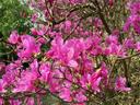 ヤマツツジも綺麗に咲き始めた