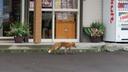 街中をうろつくキタキツネを発見
