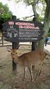 宮島名物、鹿