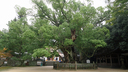 樹齢2600年と言われる大楠