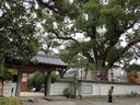 大楠が聳える海清寺