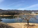 北山ダム畔の枝垂桜
