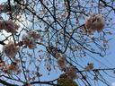 これだけ咲いている桜も