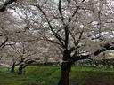 越水浄水場の桜は満開