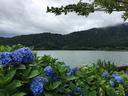 余呉湖畔の紫陽花 満開には少し早かった様子