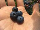 大粒の完熟果実はメチャウマ