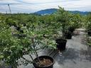鉢植えのブルーベリーの樹が数百本並んでいる