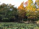 梅林横の蓮の池