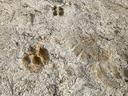 私とイノシシの足跡