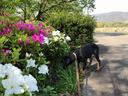 ツツジの花が盛り