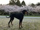 まだ桜は残っている