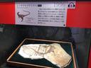 初めて羽毛の存在が確認されたシノサウロプテリクス