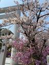 サクラとツツジが見頃の広田神社