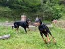 パピーの頃から仲良しのアシュラと楽しく走り回る