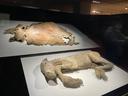 ケナガマンモスの皮膚と仔ウマのフジ