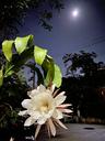 月下美人の花が咲いた