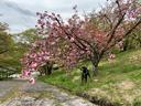 八重桜が盛り
